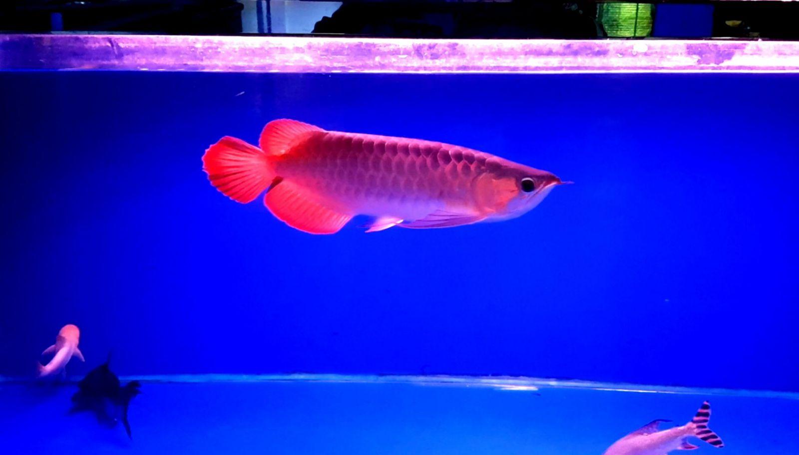 huyet-long-35cm