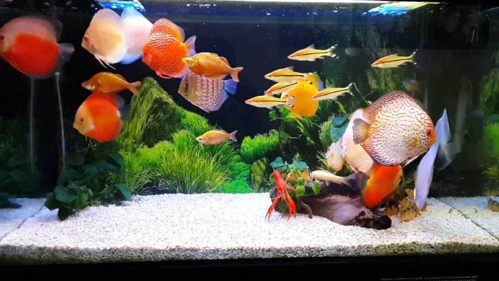 Hướng dẫn nuôi cá phong thủy rước tài lộc vào nhà 228418973